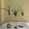 Air-plant-selection-three