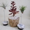 Air-plants-with-neutral-planter